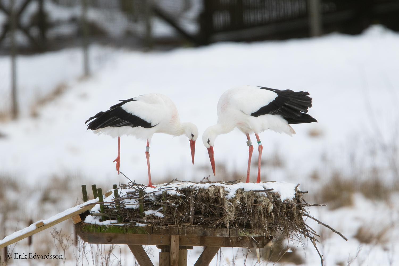 stora svarta dicks i små vita kycklingar
