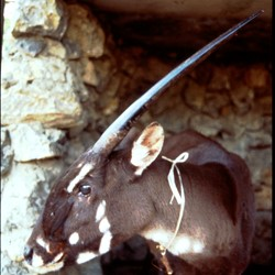 Captive female saola, Lak Xao, Boikhamxay Province, Laos, 1996. (Photo by William Robichaud)